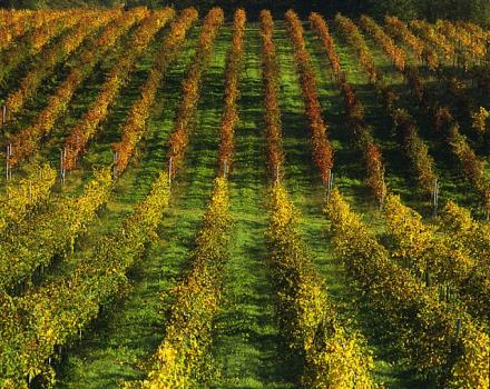 The hills around Conegliano are characterized by stretches of vines that produce the most famous Prosecco grapes.