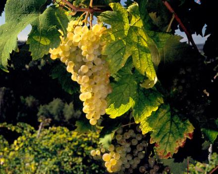 The grapes used for the production of sparkling wine, the sparkling wine that is the symbol of Conegliano